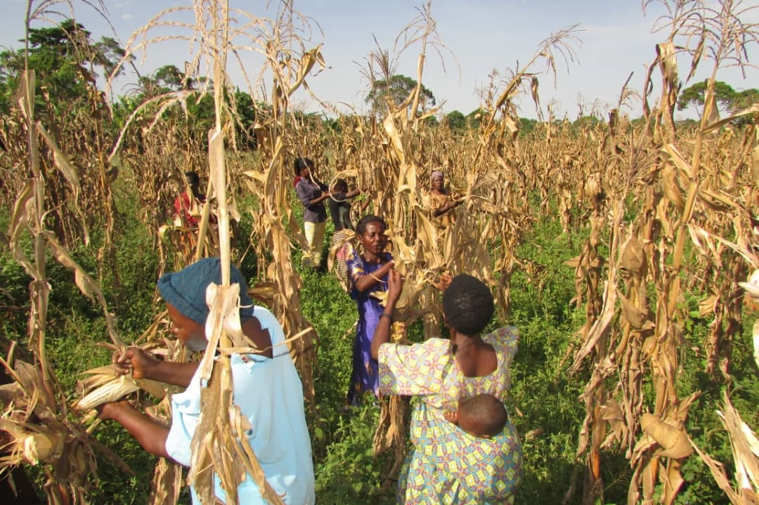 Kayunga Women Turn 'Survival' Maize Production Into Blooming Business Empire